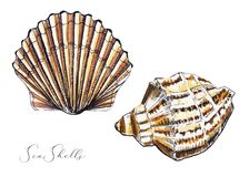Watercolor two seashells vector illustration