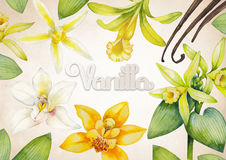 Watercolor vanilla design. Watercolor vanilla sticks, leaves and flowers. Hand painted floral design on vintage background Royalty Free Stock Photos