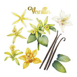 Watercolor vanilla flower Royalty Free Stock Photo
