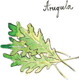 Watercolor vector arugula stock illustration