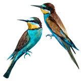 Watercolor vector european bee-eater bird Royalty Free Stock Images
