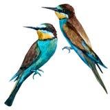 Watercolor vector european bee-eater bird Royalty Free Stock Images