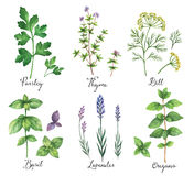 Watercolor Vector Hand Painted Set With Wild Herbs And Spices. Royalty Free Stock Image