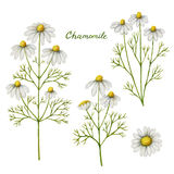Watercolor vector illustration of chamomile. Royalty Free Stock Photography
