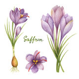 Watercolor vector illustration of saffron. Royalty Free Stock Photos
