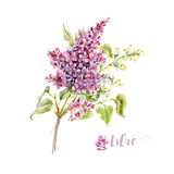 Watercolor vector lilac flower. Beautiful vector illustration of watercolor hand drawn lilac flower on transparent background Stock Images