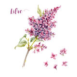 Watercolor vector lilac flower Stock Image