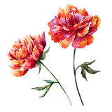 Watercolor vector peony Stock Photography