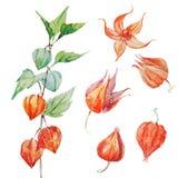 Watercolor vector physalis flower Stock Photo