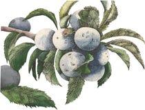 Watercolor vector plum Stock Images