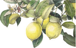 Watercolor vector lemon Royalty Free Stock Photos
