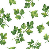 Watercolor vector seamless pattern hand drawn herb cilantro . Royalty Free Stock Photo