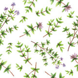 Watercolor vector seamless pattern hand drawn herb thyme. Stock Photography