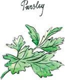Watercolor vector twig of parsley Stock Image