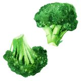 Watercolor vegetable broccoli isolated on a white background. Hand painting. Royalty Free Stock Image