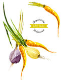 Watercolor vegetables. Onion and carrot. Vector illustrated Royalty Free Stock Photos