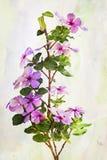 Watercolor Vinca flowers Stock Images