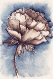 Watercolor vintage navy blue sepia flower peony Royalty Free Stock Images