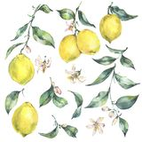 Watercolor vintage set of branch yellow fruit lemon. Watercolor vintage set of branch fresh citrus yellow fruit lemon, green leaves and flowers, Natural royalty free illustration