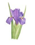 Watercolor illustration violet botanical iris with green leaves. Watercolor violet botanical iris on white background Royalty Free Stock Photography