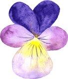 Watercolor violet flower Stock Photos
