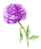 Watercolor with Violet Peony Royalty Free Stock Photos