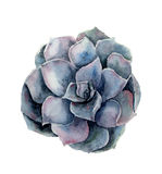 Watercolor violet succulent flower. Hand painted floral illustration isolated on white background. Botanical illustration for desi. Gn royalty free illustration