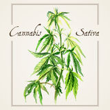 Watercolor watercolor sketch. Vector botanical watercolor sketches of Canabis sativa Stock Photo