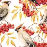Watercolor waxwing and rowan pattern Royalty Free Stock Image