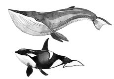 Watercolor whale, killer whale stock illustration