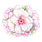 Watercolor white and pink peony flowers Royalty Free Stock Photography