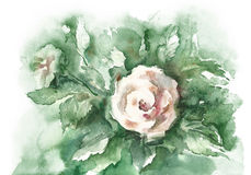 Watercolor-White rose- Stock Photo