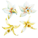 Watercolor white and yellow orchids Royalty Free Stock Photo
