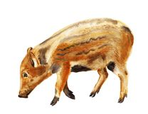 Watercolor wild boar piglet. Watercolor image of baby of wild boar pig on white background Stock Images