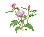 Watercolor wild cornflower on white background.  Royalty Free Stock Images