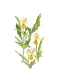 Watercolor wild pansies flower  on white background. Watercolor illustration wild pansies flower  on white background Stock Photos