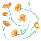 Watercolor yellow buttercup flowers floral  set Stock Image