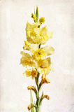 Watercolor yellow gladiolus. Illustration of watercolor yellow gladiolus on a vintage background Stock Photography