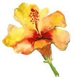 Watercolor yellow hibiscus Royalty Free Stock Images
