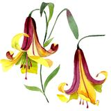 Watercolor yellow lily flower. Floral botanical flower. Isolated illustration element. Aquarelle wildflower for background, texture, wrapper pattern, frame or vector illustration