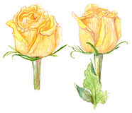 Watercolor yellow roses. Set of hand drawn yellow roses on white background Royalty Free Stock Photography