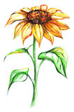 Watercolor yellow sun sunflower flower single isolated Stock Image