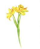 Watercolor yellow tulips Stock Photo
