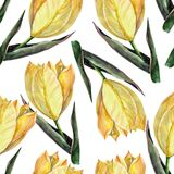 Watercolor yellow tulips on a white background. Floral seamless pattern for design. Tulip flower background hand illustration color pencil plants  seamless Stock Photos