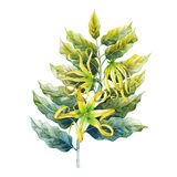 Watercolor ylang ylang. Branch. Hand painted leaves and flowers  on white background. Herbal medicine and aroma therapy Stock Photography