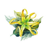 Watercolor ylang ylang. Design. Hand painted leaves and flowers on white background. Herbal medicine and aroma therapy royalty free illustration