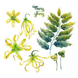 Watercolor ylang ylang set. Watercolor ylang ylang collection. Hand painted leaves and flowers isolated on white background. Herbal medicine and aroma therapy Royalty Free Stock Images