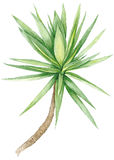 Watercolor Yucca Tree Royalty Free Stock Image