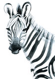 Watercolor zebra  on white background Royalty Free Stock Image