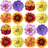 Watercolor zinnia pattern Stock Image